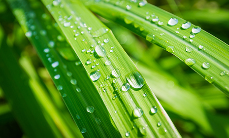 lemongrass465x280.jpg